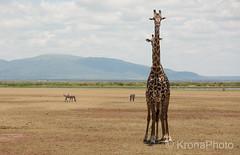 Shy&long, Ngorongoro, Tanzania (KronaPhoto) Tags: 2016 safari tanzania africa animal dyr giraffe giraff shy hide long wildlife couple savannah nature natur ngorongoro nationalpark