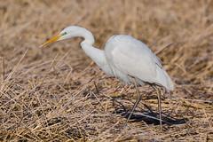 Grote zilverreiger (Marvandae) Tags: grotezilverreiger bird vogel