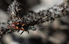 Sconosciuto (lincerosso) Tags: insetti cerambycidae dolomiti spaltiditoro montagna estate mugheta ecosistemadolomitico bellezza armonia