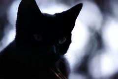 Black Kitten (Jérémy C. (Kodje)) Tags: canon f1 canonf1old fd 80200mm 14 l kodak portra 400 portra400 iso400 film silver bokeh bourgogne chevanneschangy chat cat