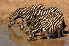 Burchellzebra - Equus quagga burchellii - Plains Zebra (merijnloeve) Tags: burchellzebra equus quagga burchellii plains zebra addo elephant park south africa wildlife safari