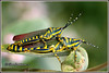 6656 - painted grasshopper (chandrasekaran a 47 lakhs views Thanks to all) Tags: paintedgrasshopper grasshopper nature india chennai eos400d canoneos400d tamron90mm