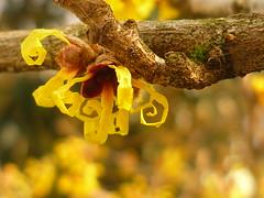 Zaubernuß-Blüten (Jörg Paul Kaspari) Tags: trier palastgarten winter januar zaubernus hamamelis japonica hamamelisjaponica entrollen petalen gelb yellow winterblüher spiral spiralentfaltung blüte flower fleur winterlicht