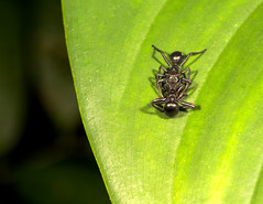 Aphantochilus rogersi (David Duneau) Tags: salticidae jumping spider guyane guiana mimicry cephalotes turtle ant