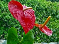 Flores Anturios (MariaTere-7) Tags: flores anturios zoológico el pinar caracas venezuela maríatere7 contactgroups flickrflorescloseupymacros flowersarebeautiful macroelsalvador