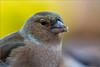 DSC_8940a (Viktor Honti) Tags: nikon d7100 sigma 70200 tc 2x wildlife nature bird feeder hide fringilla coelebs