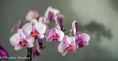 Shadows of Spring (frederic.gombert) Tags: orchid flower flowers bunch light sun sunlight color colors red pink yellow orchidee interior nikon d810 macro proxi