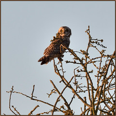 Short-eared Owl (image 3 of 3) (Full Moon Images) Tags: east anglia fens cambridgeshire bird prey birdofprey wildlife nature shorteared owl short eared seo