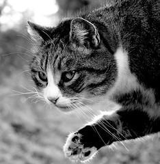 Low five (Zèè) Tags: cat chat cats katze kot kitty gato gatto black bw blanc white noir noirblanc tabby tigre spats nature outdoors paw