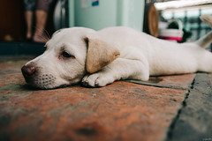 IMG_2667 (vanhcv) Tags: 170222 dog home congấu cutie