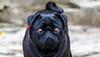 pug (TSE Photography Cornwall) Tags: dog pug animal black eyes