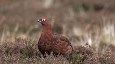 Red Grouse     (Lagopus lagopus scotica) (nick.linda) Tags: redgrouse maleredgrouse grouse heather moorland weardale lagopuslagopusscotica gamebirds wildandfree canon7dmkii sigma150600c