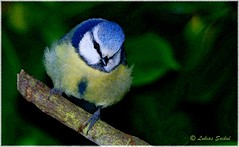 Blue Tit (lukiassaikul) Tags: creativephotography photopainting digitalpainting nature fauna animals wildanimals wildbirds bluetit