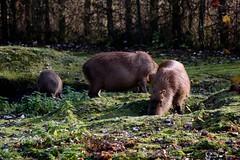 2016-10-30 Faunapark Flakee #0491 (faunaparkflakkee) Tags: capibari zuidamerika knaagdier faunaparkflakkee
