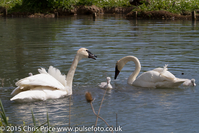 Whooper Swans and Cygnets at Arundel WWT