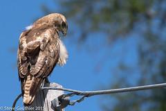 Buse  queue rousse (SteveGauthier) Tags: red canada bird hawk tail qubec animaux oiseau redtailedhawk buteojamaicensis rivirehva busequeuerousse