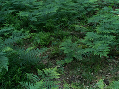 20150624_IGP8368+67 Ferns (Joeri van Veen) Tags: fern green forest ferns