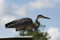 Great Blue Heron 04 (cypher40k Photography) Tags: color colour bird nikon florida greatblueheron
