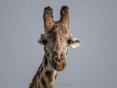 Up Close And Personal (Makgobokgobo) Tags: africa mammal kenya mara giraffe giraffa masaimara giraffacamelopardalistippelskirchi giraffacamelopardalis masaigiraffe masaimaranationalreserve maasaigiraffe kilimanjarogiraffe