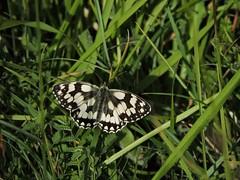 Marbled white (menchuela) Tags: menchuela floressilvestres wildflowers butterfliesandmoths butterfly marbledwhite melanargiagalathea british flora britishfauna