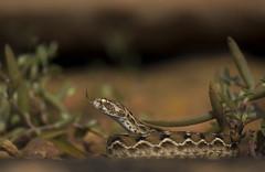 Saw-scaled Viper | Echis carinatus sochureki (Vipul Ramanuj) Tags: viper bikenhike viperidae sawscaledviper snakesofindia vipulramanuj indianherps wwwbikenhikein