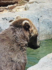 (Sailor.Doom) Tags: wild summer hot love water closeup fur zoo cool furry rocks wildlife grizzly grizzlybear riverbankszoo riverbankszooandbotanicalgarden