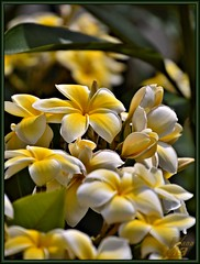 Plumeria (WanaM3) Tags: tree hawaii nikon plumeria blossoms maui plumeriatree wanam d7100 nikond7100
