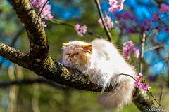 Siesta (Andre Yabiku) Tags: brazil southamerica cat canon br sopaulo siesta cherryblossom sakura hanami cerejeira yabiku andreyabiku