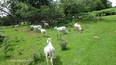 DSC00516 Wenlock Olympian Walk 2015-07-18 - Sheep near CP at The Yeld (John PP) Tags: wow shropshire walk miles 50 challenge wenlock olympian marches 2015 muchwenlock ldwa johnpp 180715