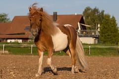 Pauli (HendrikSchulz) Tags: horses horse wolke pony ponies juli pauli 2015 schneewittchen reitplatz minishetty pferdefotografie horsephotography biesendorf minishetties friesenstallweh hendrikschulz hendriktschulz