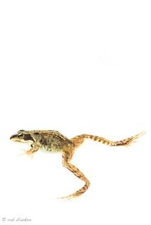 High Key Frog (3)