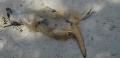 Stokstaartje (pclaesen) Tags: zoo meerkat tilburg brabant oliemeulen dierentuin nikond3200 stokstaart
