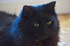 My beautiful bright eyes! (ineedathis,The older I get the more fun I have....) Tags: ziggy kitty cat feline pet family boy furry blackcat male portrait sweet nikond750 animal adopted drzhivago posing zoom fluffy