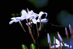 Jasmine (maginoz1) Tags: flower flora abstract art manipulate summer december 2016 bulla melbourne victoria australia canon g3x jasmine
