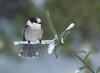 Gray-Jay (Corey Hayes) Tags: gray jay songbird wildlifephotography evergreen winter snow art algonquinpark