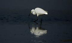 DSCN0764 Egret (tsuping.liu) Tags: outdoor blackbackground bright birds ecology ecotour ebbtide photoborder pattern nature natureselegantshots naturesfinest refrection water waterfront