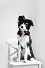 (monsters.monsters) Tags: dog bordercollie puppy 7months intelligent pup doggy purebred workdog pet pets family furbaby breed training