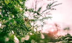 Hope (CJ Luck) Tags: bokeh cj christmas dof garden sky tree botanical branch bright cjluck depthoffield evergreen gardenscape glaring glorious green greeting hope lensflare pine pineneedle pinecone shine sparkle sun sunray