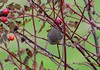 Ruby-crowned Kinglet (Terrance Carr) Tags: 201446 brunswick ferry dncb terry carr terrycarr 20141119 2014 november