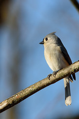 Tufted titmouse (chmptr) Tags: oiseau titmouse bird animal animalier wildlife
