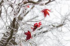 Red frozen (luigig75) Tags: leafs foglie galaverna givre brouillard givrant nebbia congelante ghiaccio brina albero rami branches 70d francia france landscape canonef40mmf28stm