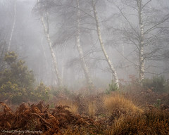 Fog on Stedham Common (Chalky666) Tags: tree trees wood woodland common fog mist silverbirch fern december winter landscape westsussex southdowns art painterly rockpaper