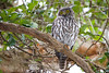Barking Owl 1 (petefeats) Tags: australia barkingowl birds goldcoast nature ninoxconnivens queensland strigiformes schusterpark strigidae