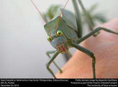Giant Katydid or Saltamontes Hoja Verde (Tettigoniidae, Stilpnochlora sp.) (insectsunlocked) Tags: orthoptera ensifera tettigoniidea tettigoniidae phaneropterinae stilpnochlora giantkatydid saltamonteshojaverde