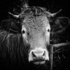Sadly Scratching On A Fence (Alfred Grupstra) Tags: bw cow blackandwhite fence lowkey portrait wervershoof noordholland nederland nl