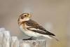 Snow Bunting (arthurpolly) Tags: snowbunting avian beautiful bird birds canon 7dmk2 100400is eos elements13 flickrdiamond nature natureselegantshots naturesfinest northwales photoshop wildlife wales