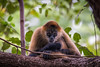 Spider Monkey (hey its k) Tags: costarica monkey nature spidermonkey wildlife provinciadeguanacaste cr img9914e canon6d tamron 150600mm