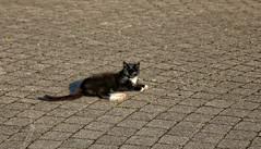 Pussy (Steenvoorde Leen - 2.7 ml views) Tags: 2016 maurik pussy puss cat kat poes jong young katze chat minou mieze pussycat kitten
