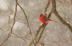 IMG_5379.jpg (Edie Mendenhall) Tags: avian winteranimal storm northerncardinal malecardinal plumage perched redbird red song songbird wildlife feathers songbirds black canada isolated white westvirginia cardinal mammals nature ornithology birds greeting male crested cold christmas crest background wild mask tree bright snow bird northern winternorthern animals fauna cardinalis winter branch