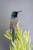 DSC_7423 (mylesm00re) Tags: m africa anthobaphesviolacea gantouwpass hottentotshollandnaturereserve nectariniidae orangebreastedsunbird oranjeborssuikerbekkie southafrica westerncape za bird